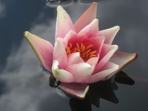 Exeter waterlily