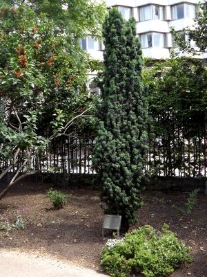 Eliot's yew