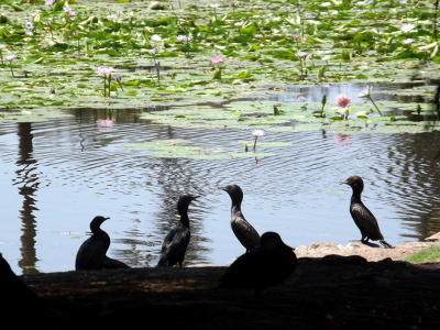 Waterlilies and cormorants