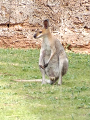 Wallaby in prison