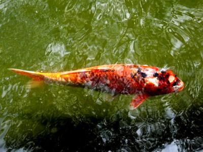 NUS fish