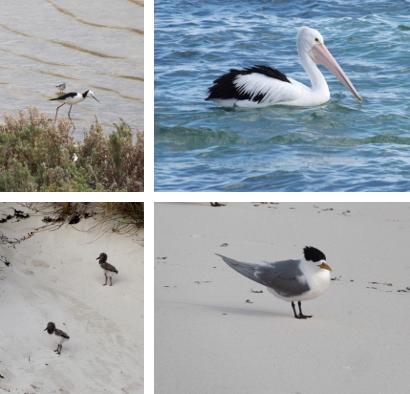Rottnest birds
