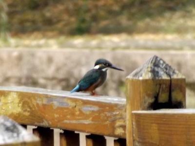 Kingfisher at CTGU